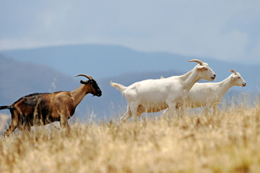 Domestic goats climbing up a hill. Taken in Swifts Creek, Victoria in January 2007. (Fir0002 200, Wikimedia Commons)
