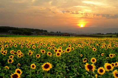 sunflowers_2167723_400