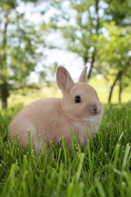 A 4-week-old Netherlands Dwarf rabbit from a litter of four in St. Catharines, ON, Canada (Wikimedia Commons, Aaron Van Dyken).