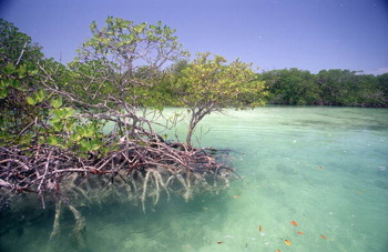 """Mangrove tree inside Snipes Point near Key West,"" Florida Memory, Wikimedia Commons"
