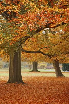 orange_fall_trees_sm