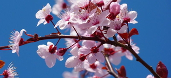 350px-Cherry_Blossom_c