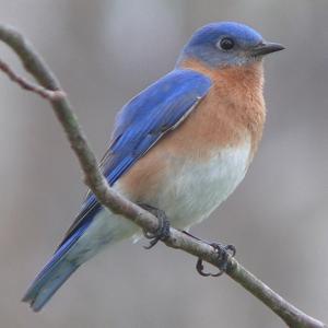 Bluebird_sm