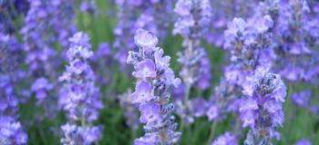 lavender_c